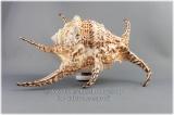 Muschelgehäuse Lambis Chiragra ca. 20 - 22 cm