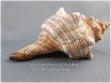 Muschelgehäuse Fasciolaria Trapezium ca. 12 - 14 cm